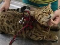 網友養的貓竟然超喜歡去醫院,知道真相後...差點笑噴!